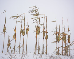 leftover corn stalks brave the harsh wind and winter snow