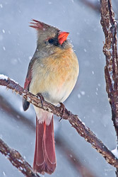 A beautiful female cardinal sitting on a branch in  the snowstorm