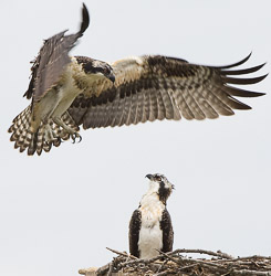 Osprey fledglings just learning to fly. Franklin, WI