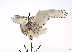 This beautiful elusive female snowy owl awarded me with many opportunities to observe. She made her temporary home in a Wildlife area near Kenosha, Wisconsin.