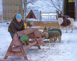 kristen-westlake-20150208-llamas-and-sheep-feeding-time-rural-wisconsin-0026sh.jpg