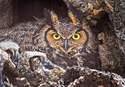 This adult owl flew quickly into the nest with her young while the nest was being stalked and bombarded by a paregrine falcon. The falcon made many fly bys of the nest and the adult owl plumped herself up and stayed alert.