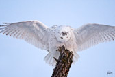 Snowy Owl Preening with full wing spread on a perch in Horicon Marsh